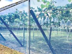 行徳果樹園ピオーネの森