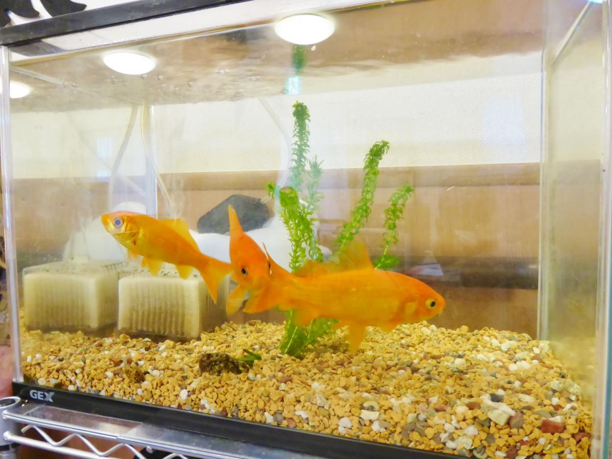 飼育水槽(金魚)